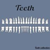 Les dents de la dentition humaine, dents saines illustration de vecteur