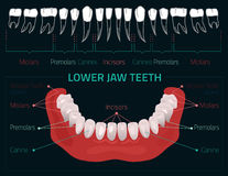 Les dents dirigent infographic Images stock