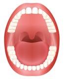 Les dents ouvrent la dentition d'adulte de bouche illustration libre de droits