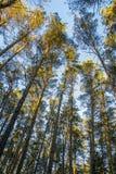 Les dessus des arbres ont allumé le soleil et le ciel bleu dans la forêt Image stock