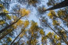 Les dessus des arbres ont allumé le soleil et le ciel bleu dans la forêt Images libres de droits
