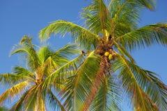 Les dessus des palmiers Image libre de droits