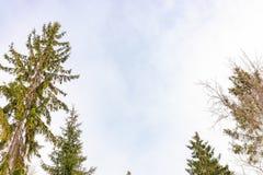 Les dessus des sapins un jour légèrement nuageux d'hiver contre le ciel bleu photos stock