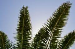 Les dessus des troncs de beaux palmiers exotiques tropicaux avec de grandes feuilles vertes contre le ciel bleu photographie stock libre de droits