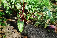 Les dessus feuillus du betroot de légumes à racine et navets dans un potager Images stock