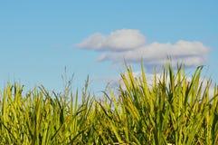 Les dessus mûrs de canne à sucre ont placé contre un s nuageux bleu Images stock