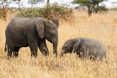 Les deux éléphants de frères Photo stock