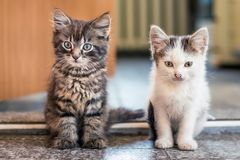 Les deux chatons se reposent sur le plancher dans la chambre Blanc repéré et Images libres de droits