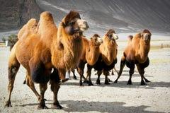 Les doubles chameaux de bosse Images libres de droits
