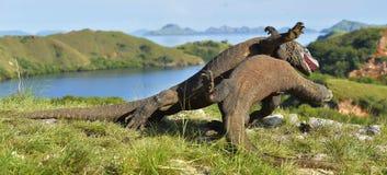 Les dragons de Komodo de combat pour la domination image libre de droits
