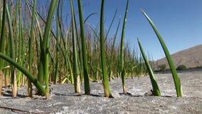 Les dunes de sable de Bruneau Idaho 48 roseaux se ferment  clips vidéos