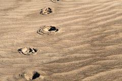 Les empreintes de pas animales de ton de sépia sur le sable texturisé de la Floride échouent Images libres de droits