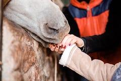 Les enfants alimentent le cheval des mains à la ferme photographie stock libre de droits