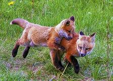 Les enfants de mêmes parents de Fox sortent pour jouer avec leur fin de observation de mère par Photo stock
