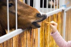 Les enfants remettent le cheval brun de alimentation dans l'écurie Cheval de pure race dans sa volière cheval par la cage photos libres de droits
