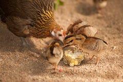 Les enfants rouges de soutien scolaire de bruyère de mère de junglefowl mangent des graines Image libre de droits