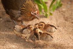 Les enfants rouges de soutien scolaire de bruyère de mère de junglefowl mangent des graines Photo stock