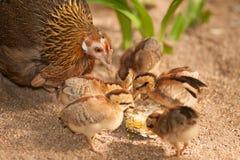 Les enfants rouges de soutien scolaire de bruyère de mère de junglefowl mangent des graines Photographie stock libre de droits