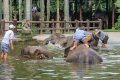Les entraîneurs donnent aux éléphants Bath avant un jour de travail Photos libres de droits