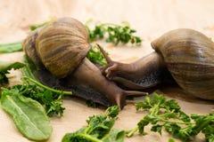 Les escargots africains d'achatina mange des verts à la maison Image stock