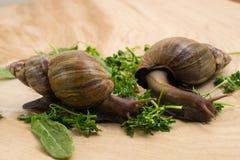 Les escargots africains d'achatina mange des verts à la maison Photos libres de droits