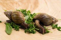 Les escargots africains d'achatina mange des verts à la maison Images stock