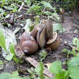 Les escargots est amoureux Photos libres de droits