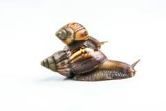 Les escargots sur le fond blanc, peuvent donner l'amour des jeunes Photos libres de droits