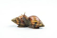 Les escargots sur le fond blanc, peuvent donner l'amour des jeunes Image libre de droits