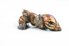 Les escargots sur le fond blanc, peuvent donner l'amour des jeunes Images libres de droits