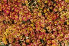 Les espèces d'usine de chrysanthème 1-3 pieds de grandes avec un tronc et branches ne sont pas beaucoup Les branches et les tiges images stock