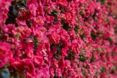 Les espèces de bégonia fleurit dans différentes couleurs telles que les fleurs roses, oranges et blanches tout au long de l'année image stock