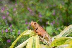 Les espèces de caméléon en Thaïlande étaient perché sur la branche en nature Photographie stock