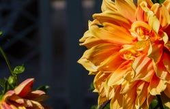 Les espèces de dahlia ont provenu du Mexique la popularité croissante des fleurs coupées à l'étranger, mais de pas apprécier Photos libres de droits