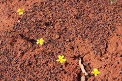 Les espèces indigènes jaunes de wildflower de Velleia capture le sol sec rouge de l'Australien à l'intérieur Photo stock
