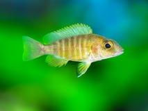 Les espèces Lwanda d'Aulonocara qui ne sont pas un poisson fascinant ou même facilement saisi, est des poissons d'agrafe dans le  Images stock