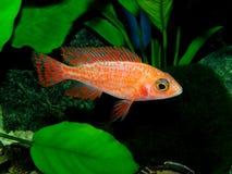 Les espèces Lwanda d'Aulonocara qui ne sont pas un poisson fascinant ou même facilement saisi, est des poissons d'agrafe dans le  Images libres de droits