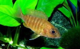 Les espèces Lwanda d'Aulonocara qui ne sont pas un poisson fascinant ou même facilement saisi, est des poissons d'agrafe dans le  Photos stock