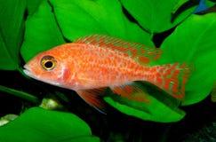 Les espèces Lwanda d'Aulonocara qui ne sont pas un poisson fascinant ou même facilement saisi, est des poissons d'agrafe dans le  Photographie stock libre de droits