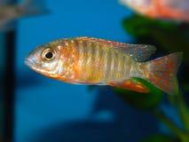 Les espèces Lwanda d'Aulonocara qui ne sont pas un poisson fascinant ou même facilement saisi, est des poissons d'agrafe dans le  Image libre de droits