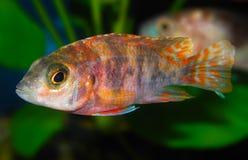 Les espèces Lwanda d'Aulonocara qui ne sont pas un poisson fascinant ou même facilement saisi, est des poissons d'agrafe dans le  Photographie stock