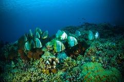 Les espadons d'or bunaken le boersii de platax de Sulawesi Indonésie sous-marin Photo libre de droits
