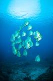 Les espadons d'or bunaken le boersii de platax de Sulawesi Indonésie sous-marin Image stock