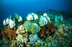 Les espadons d'or bunaken le boersii de platax de Sulawesi Indonésie sous-marin Image libre de droits
