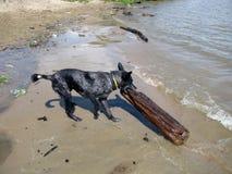 Les essais de chien pour traîner le rondin Images stock
