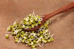 Les fèves de mung cultivées poussent sur la cuillère en bois pour l'usage culinaire Image stock