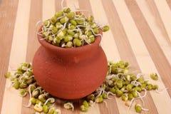 Les fèves de mung hydroponique cultivées poussent pour l'usage culinaire Photos libres de droits