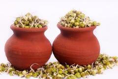 Les fèves de mung poussent sur des pots avec le contexte blanc Images libres de droits