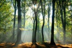 Les faisceaux de lumière pleuvoir à torrents par les arbres Photos libres de droits