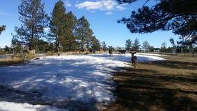Les faons de cerfs communs de mule du Colorado d'hiver et fait Photos libres de droits